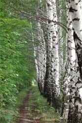 Посадка по дороге из с.Грязное в с.Ст.Кирктно 2003 год