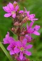 Плакун-трава - Дербенник иволистный (lythrum salicaria)