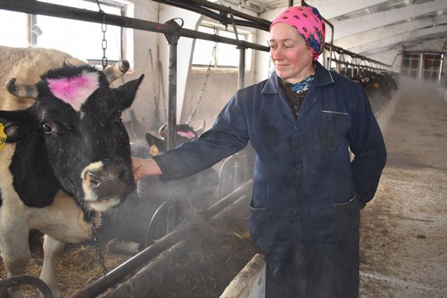 На иваньковской ферме сельскохозяйственного предприятия «Малинки»