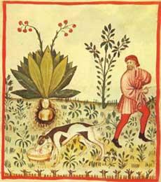 Мандрагора. Средневековый манускрипт