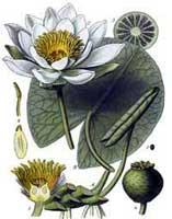 Одолень трава - это кувшинка, водяная лилия. Было и другое название у неё - русалочий цветок.